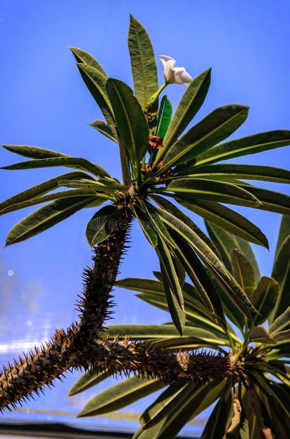 狭窄,长,棕榈树植物的绿色叶子反对蓝色s图片