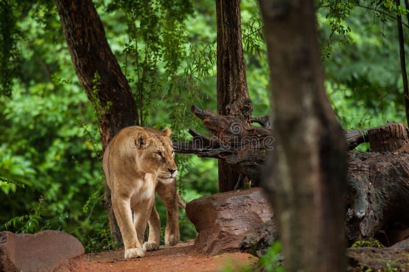 狮子休息在动物园里 免版税库存照片