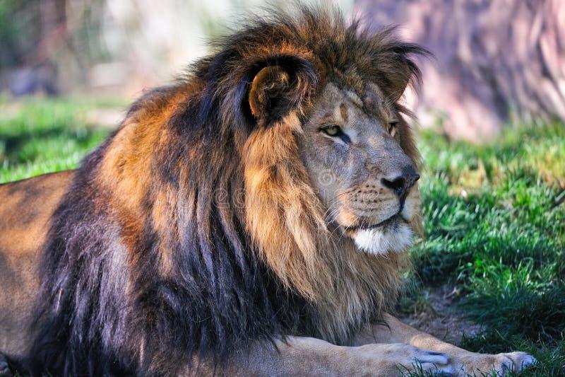 狮子休息 免版税库存图片
