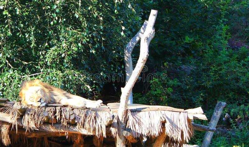 狮子休眠 库存图片