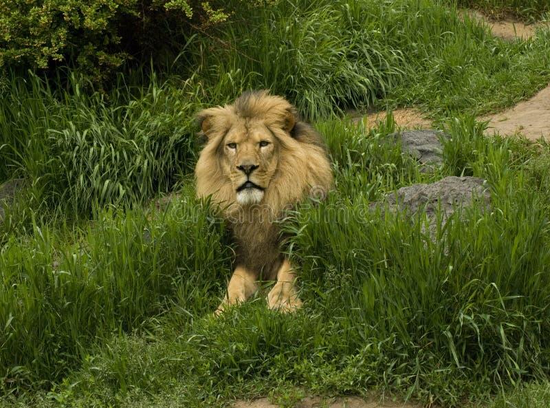 狮子动物园 图库摄影