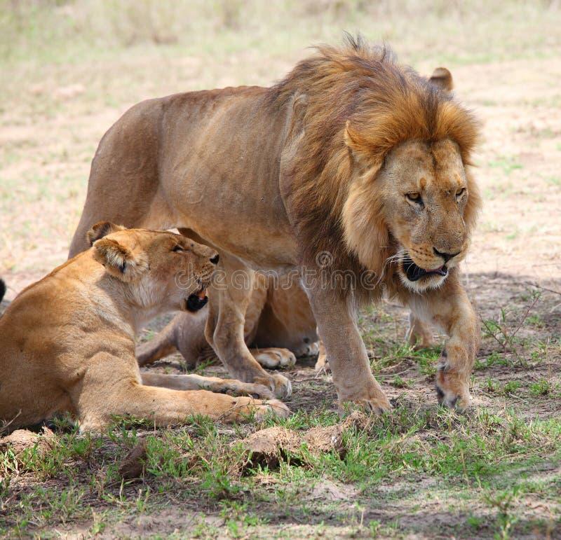 狮子和雌狮在塞伦盖蒂 免版税图库摄影