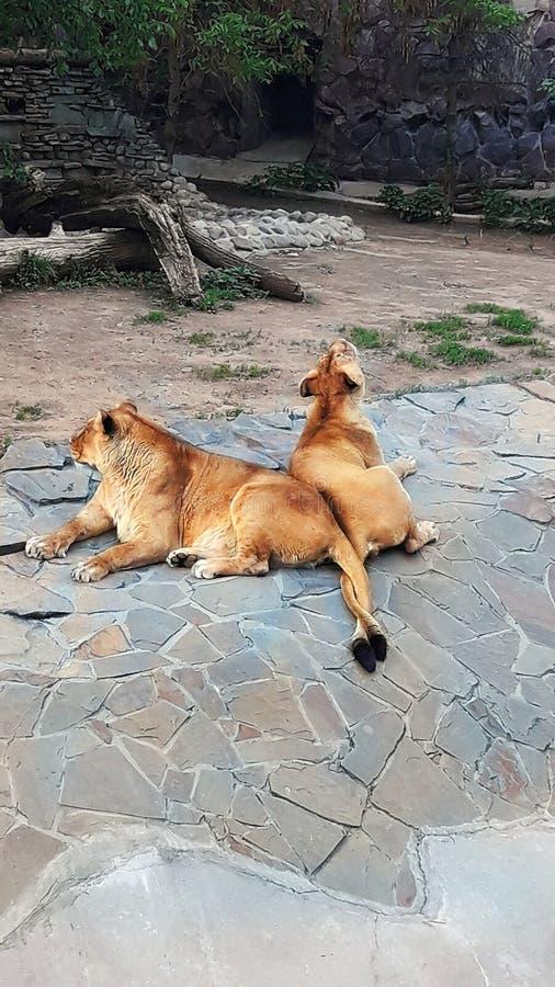 狮子和雌狮谎言在休息在鸟舍,动物尾巴交错 库存照片