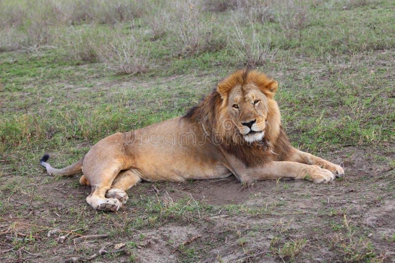 狮子在塞伦盖蒂 免版税图库摄影