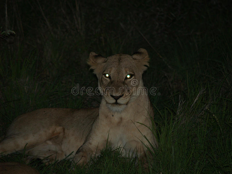 狮子在晚上 库存照片