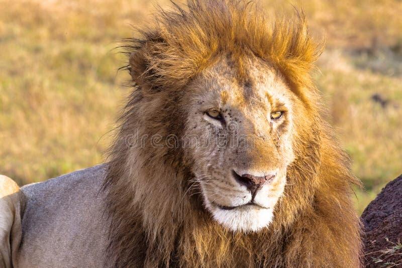 狮子在框架看 马塞语玛拉,非洲 库存照片