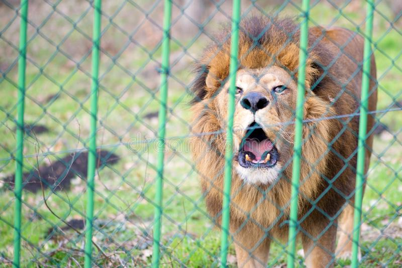 狮子在篱芭后的动物园里 免版税库存图片