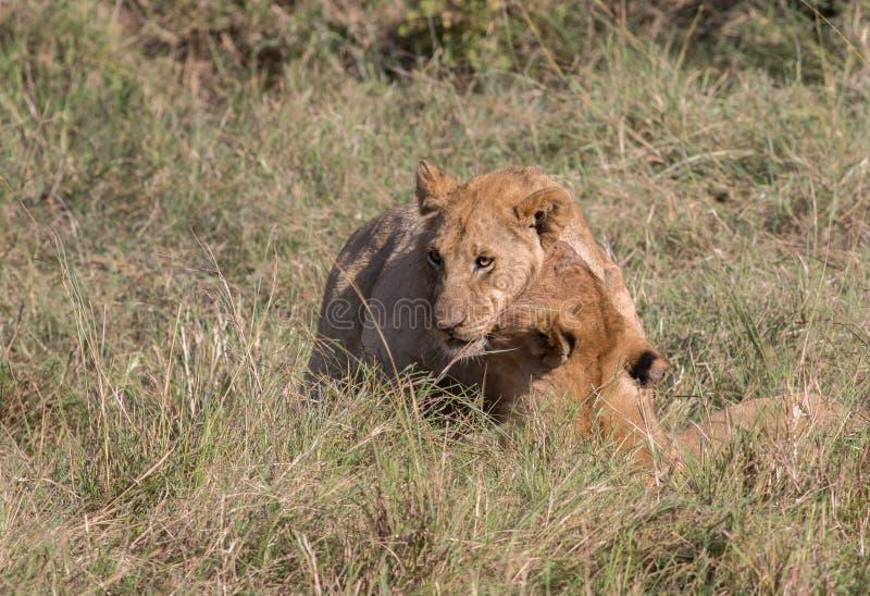 狮子在肯尼亚骄傲和Cub 库存照片