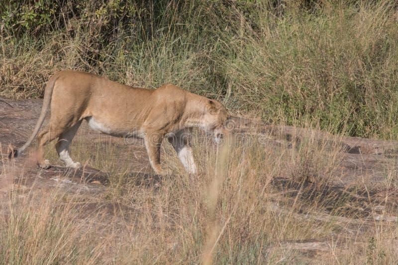 狮子在肯尼亚骄傲和Cub 免版税图库摄影
