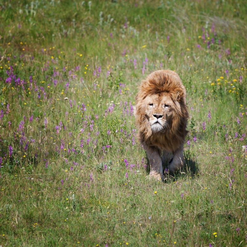 狮子在领域 库存照片
