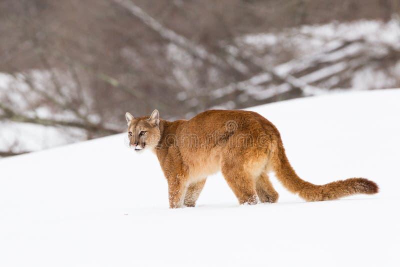 狮子多雪山的土坎 库存照片