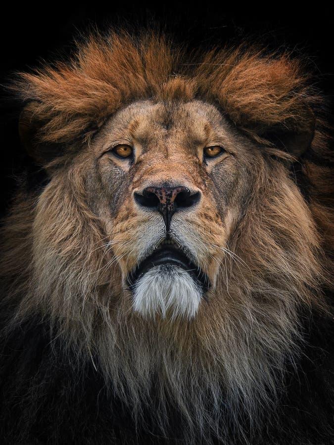 狮子巴巴里人 库存照片