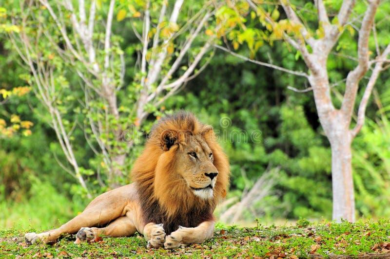 狮子摆在 免版税库存图片