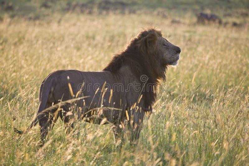 狮子日出 免版税库存照片