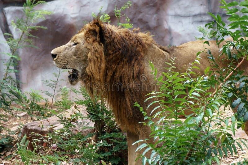狮子是狂放的 库存图片