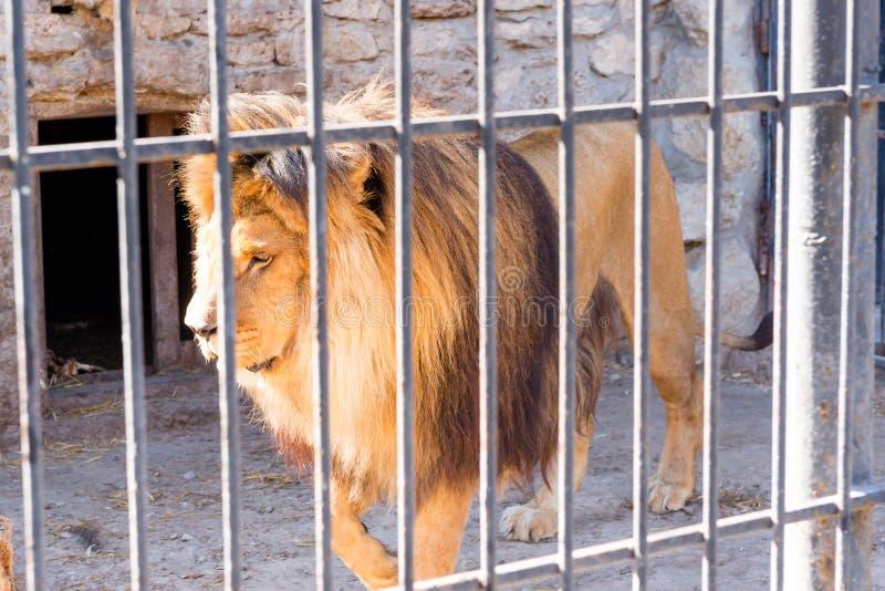 狮子是百兽之王在囚禁的在一个动物园里关在监牢里 力量和侵略在笼子 免版税库存图片