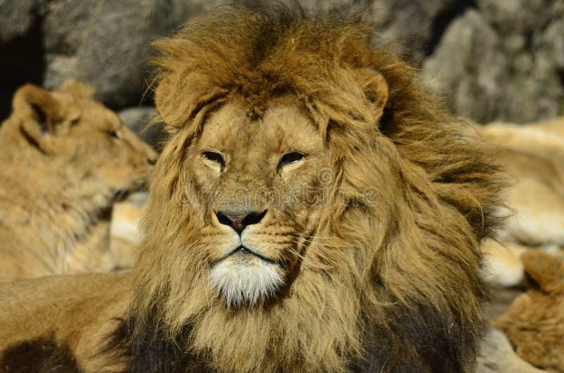 狮子晒日光浴 免版税库存图片