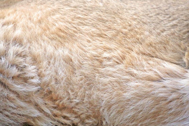 狮子毛皮背景  免版税图库摄影