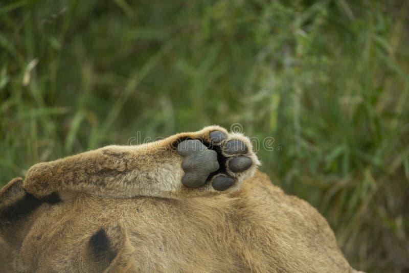 狮子爪子 图库摄影