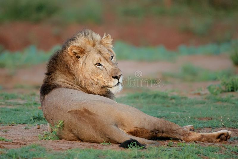 狮子男性在南非 免版税图库摄影