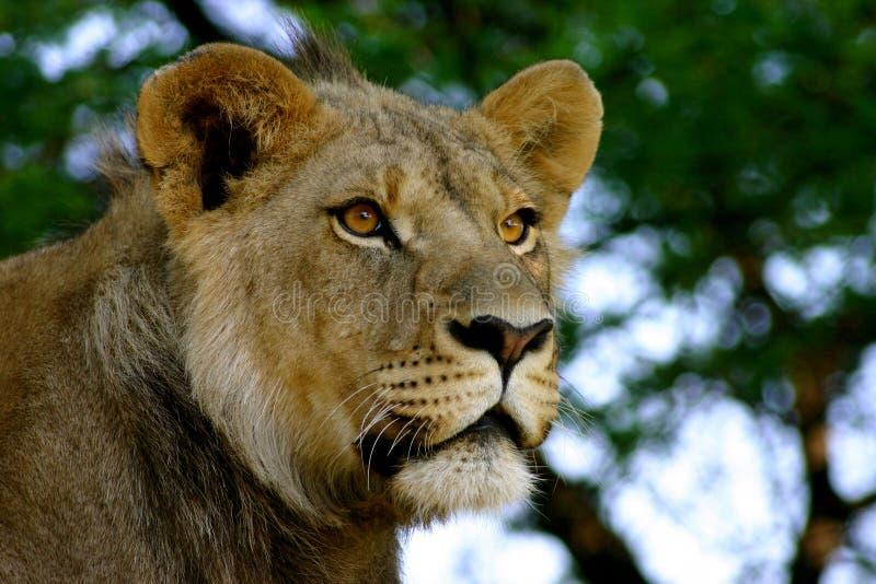 狮子男性年轻人 免版税图库摄影