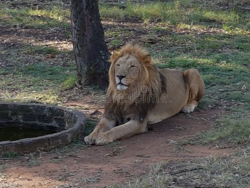 狮子男性 库存图片