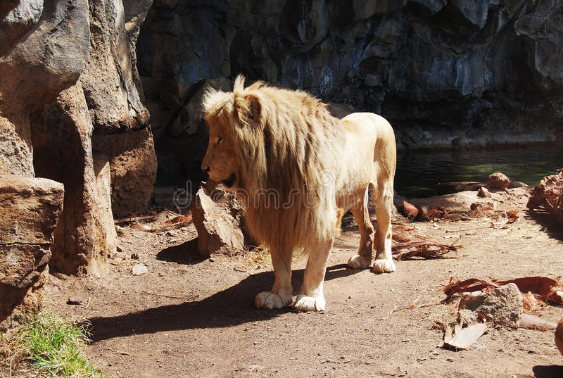 狮子男性 库存照片