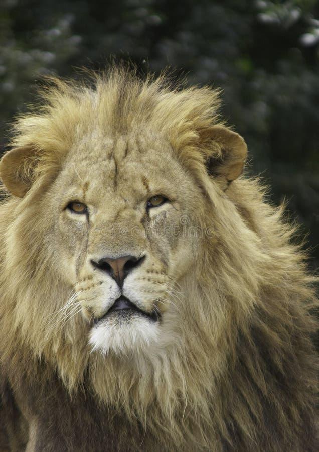 狮子男 库存图片