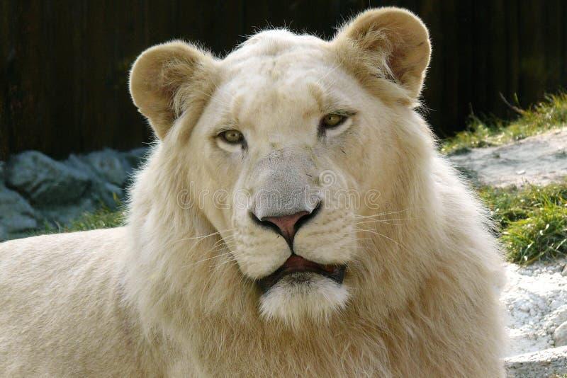 狮子白色 免版税图库摄影