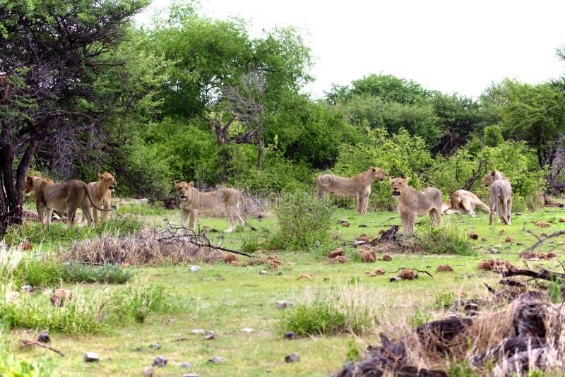 狮子的会议 库存照片