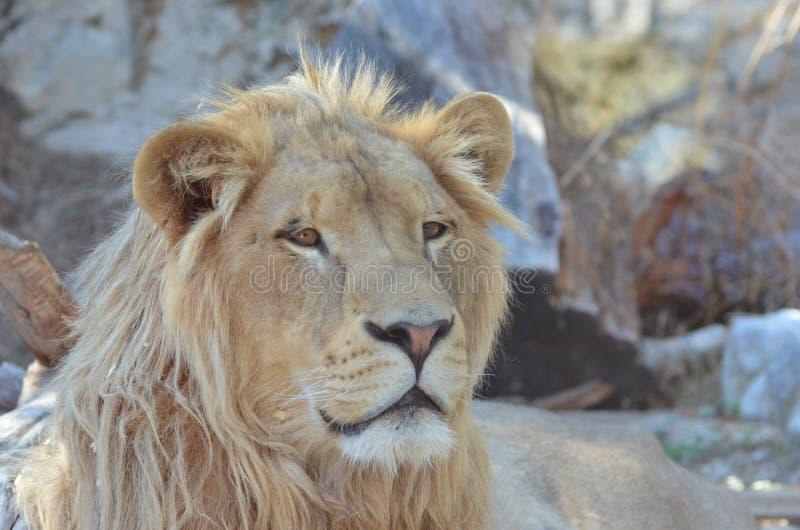 狮子的神色 免版税库存照片