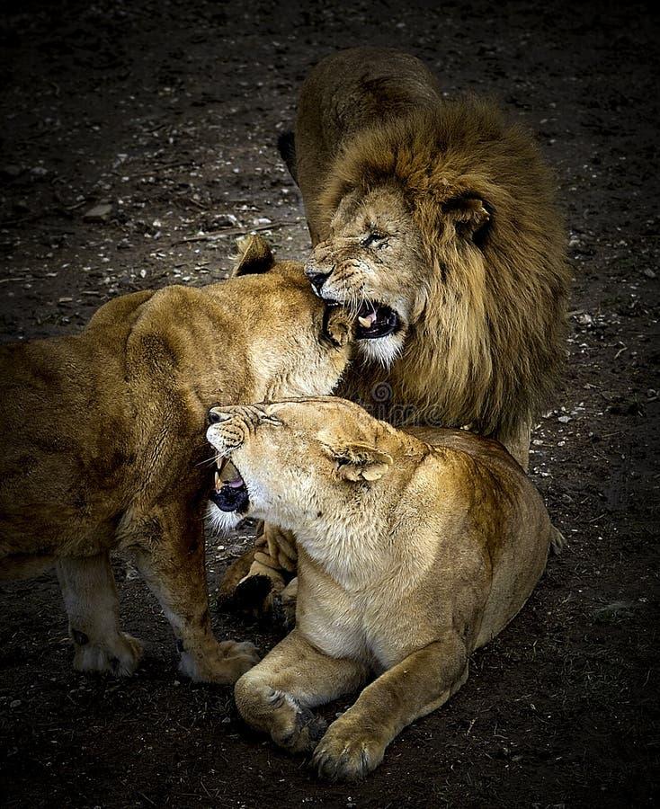 狮子的骄傲 免版税库存图片