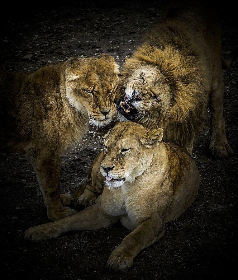 狮子的骄傲 免版税库存照片