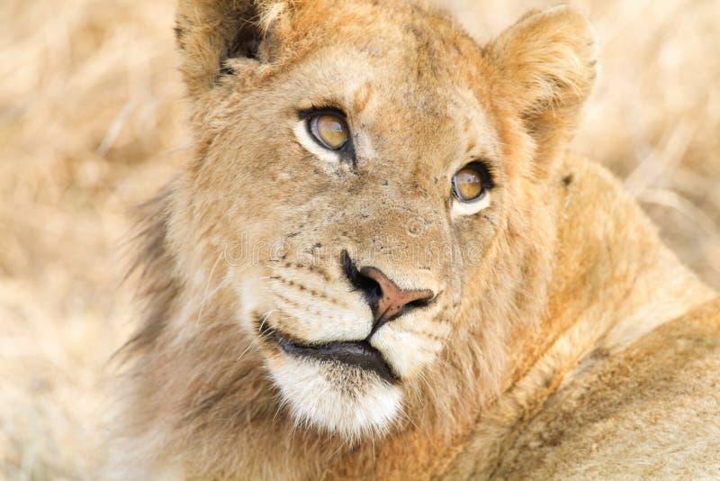 狮子看 免版税库存照片