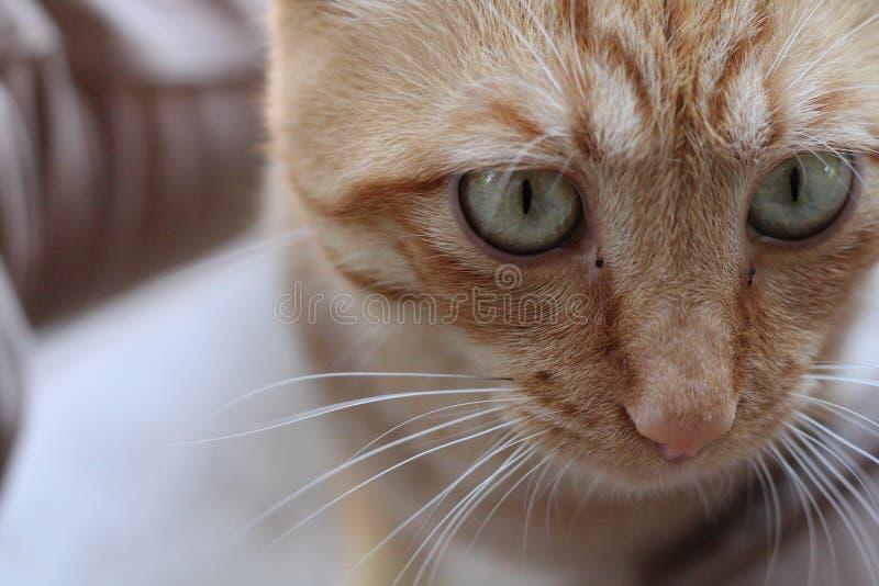 狮子眼睛 图库摄影