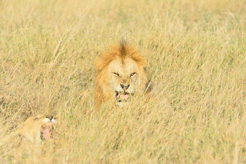 狮子联接 库存照片