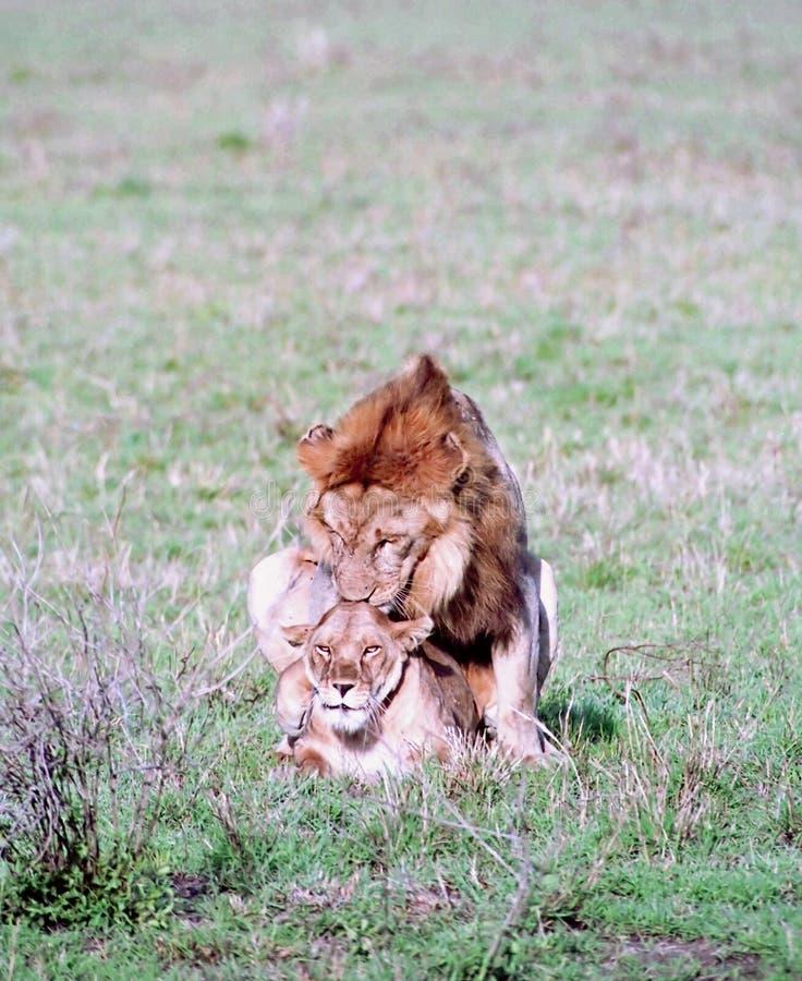狮子联接 库存图片
