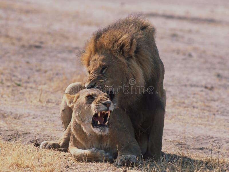 狮子联接 免版税图库摄影