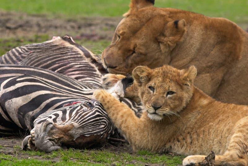 狮子膳食 免版税库存图片