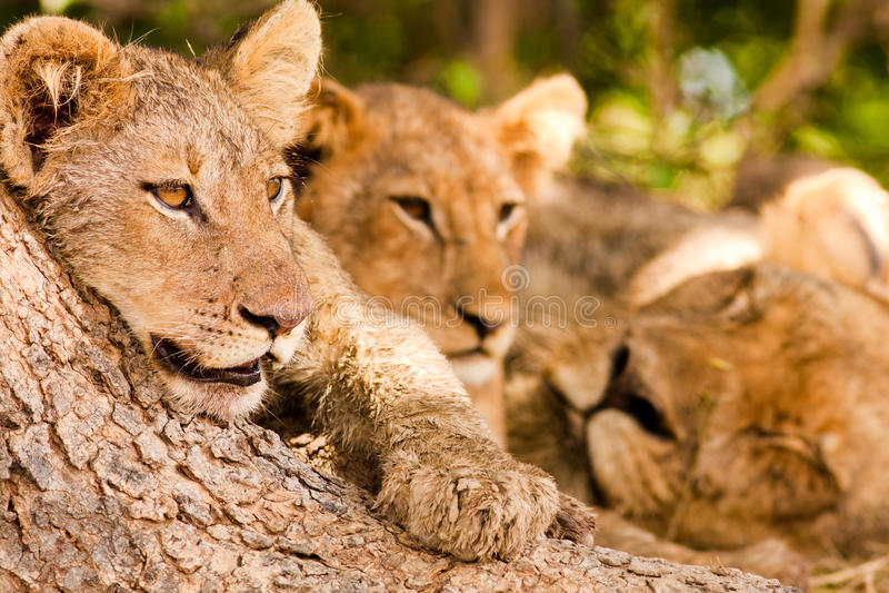 狮子自豪感与逗人喜爱的幼狮的 免版税库存照片