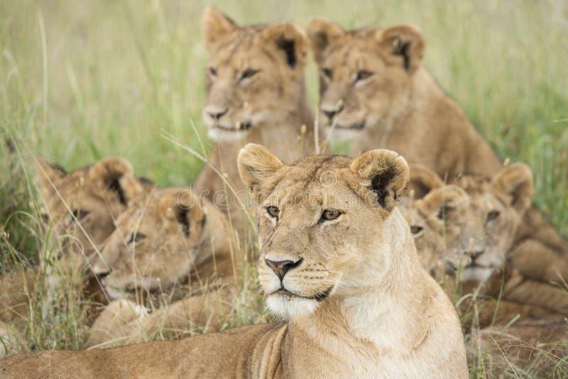狮子自豪感, Serengeti,坦桑尼亚 免版税图库摄影