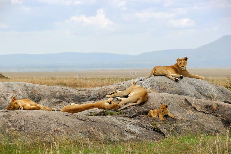 狮子自豪感 免版税库存图片
