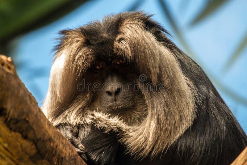 狮子被盯梢的短尾猿 免版税库存图片