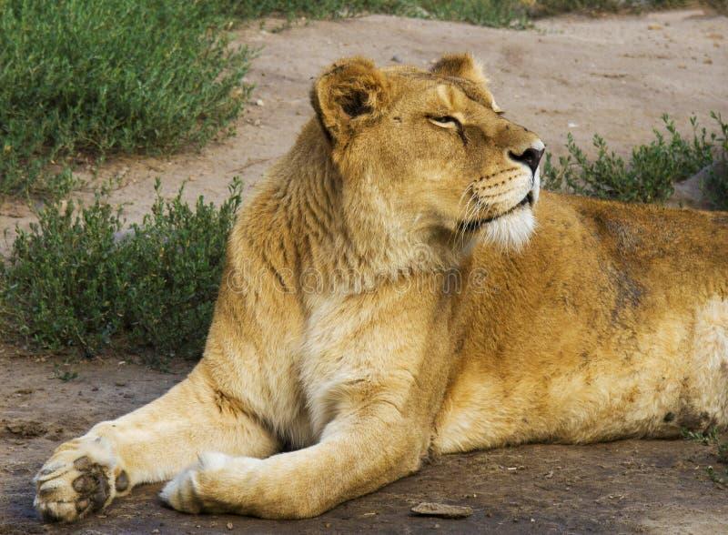 狮子说谎在草的,由太阳决定的转动的头,几乎注视 免版税库存照片