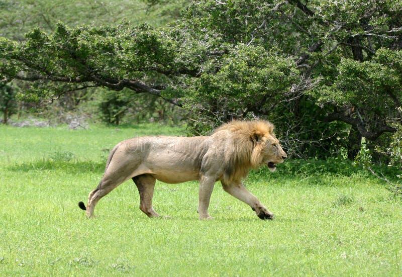狮子走 免版税库存照片