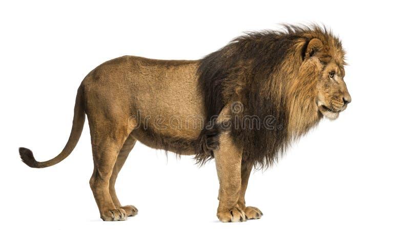 狮子身分的侧视图,豹属利奥, 10岁 免版税图库摄影