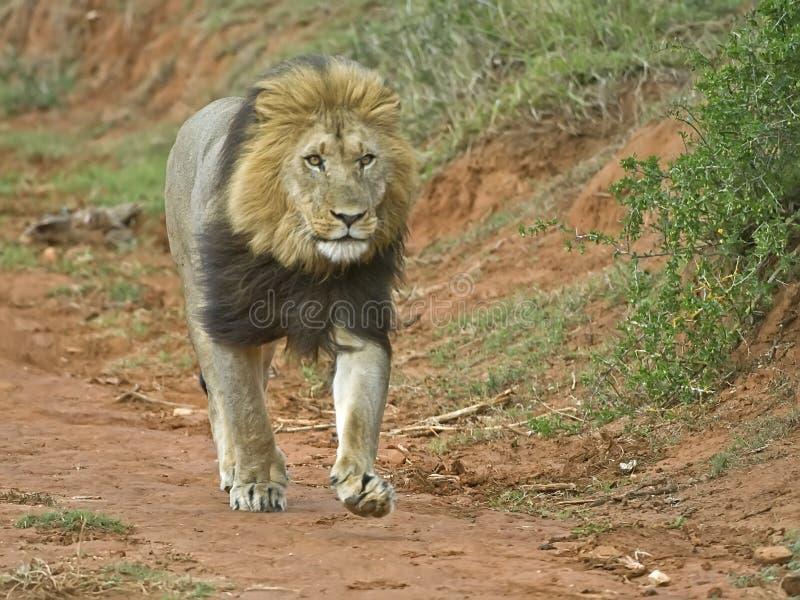 狮子运行中 免版税库存照片