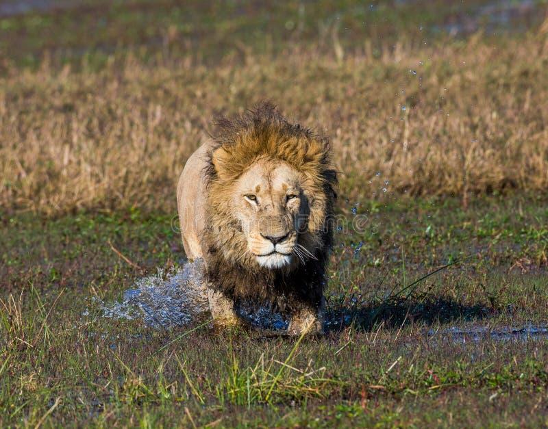 狮子通过沼泽游泳 Okavango Delta 免版税库存照片