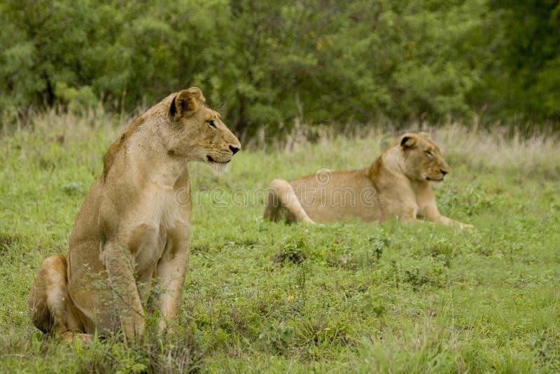 狮子配对通配 免版税图库摄影