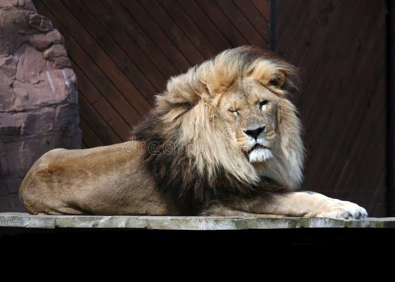 狮子闪光 库存图片